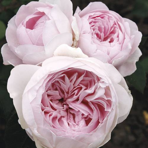 Earth Angel™ Parfuma® Floribunda Rose