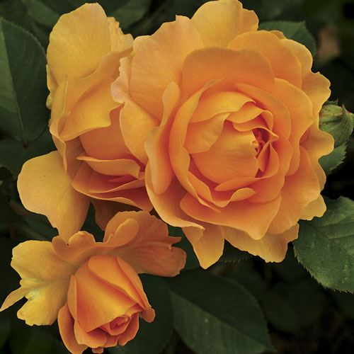 Honey Perfume™ Floribunda Rose