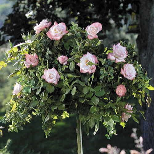 Crescendo® 36-inch Tree Rose