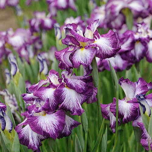 Lion King Iris cristata Dwarf Crested Iris Plant