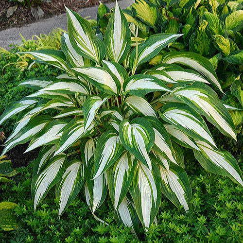 Cool as a Cucumber Hosta