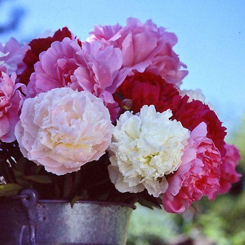 Bushel of Blooms Peony Mix