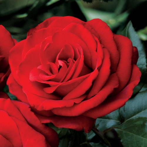 Always and Forever 24-inch Patio Tree Rose