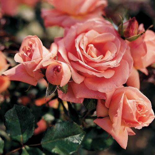 Bill Warriner™ Floribunda Rose