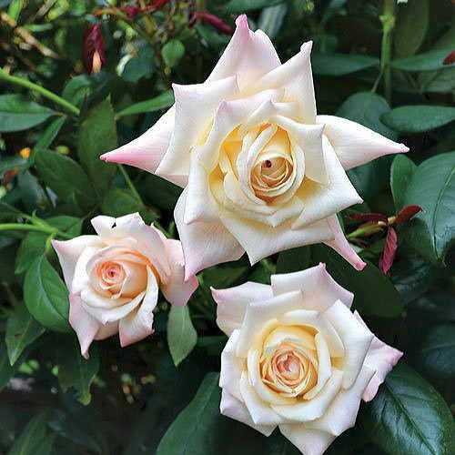 'Soft Whisper' 24-inch Tree Rose