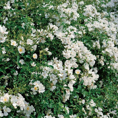 Snowcone Shrub Rose