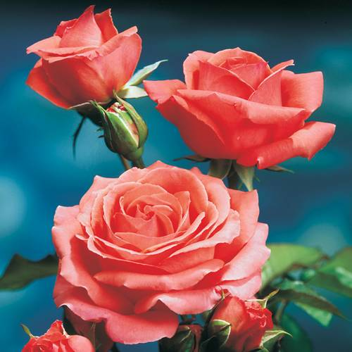 America Climbing Rose For Sale At Jp