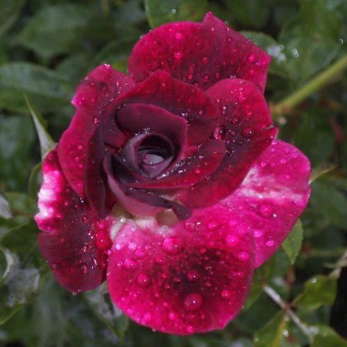 Burgundy Iceberg™ Floribunda Rose