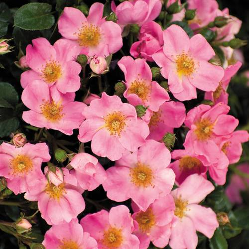 'Bubblicious' Shrub Rose