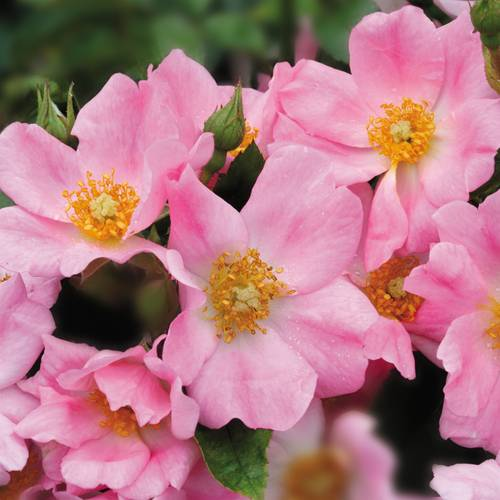 Bubblicious Shrub Rose