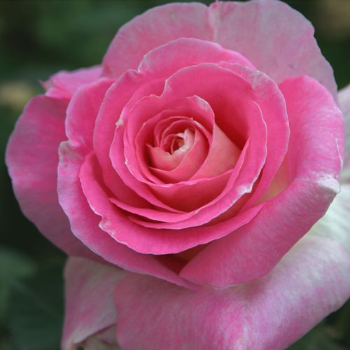 Change of Heart™ Hybrid Tea Rose