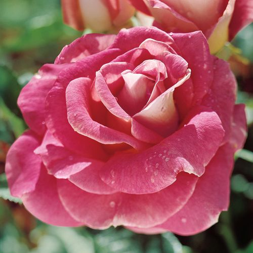 Change of Heart Hybrid Tea Rose