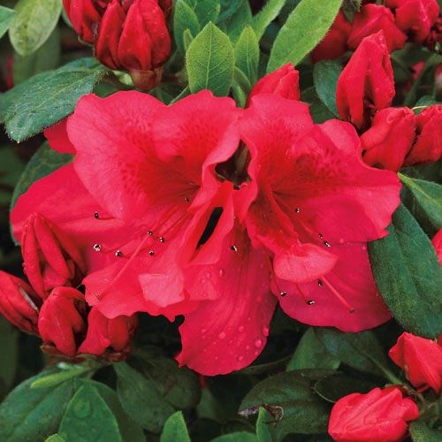 Bloom-a-Thon® Red Rhododendron