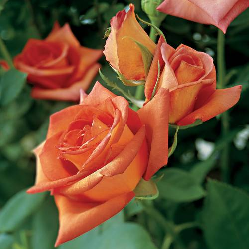 Wildfire Hybrid Tea Rose