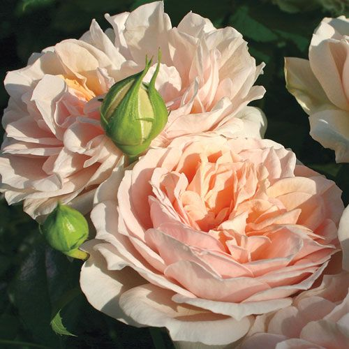 Cream Veranda® Floribunda Rose
