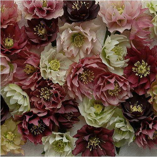 Helleborus 'Mardi Gras Double Mix'