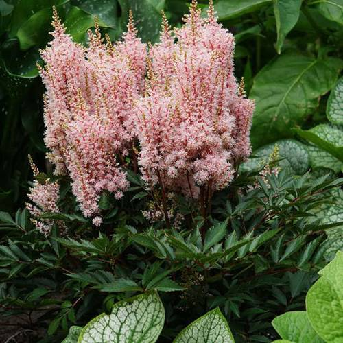 Astilbe Look at Me