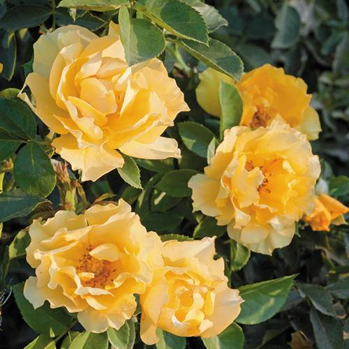 'Friend's Embrace' Floribunda Rose