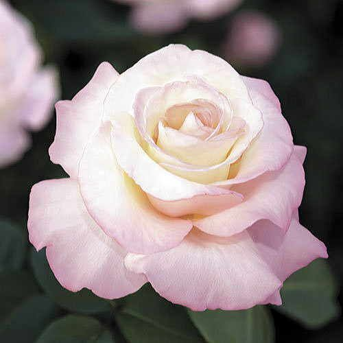 Crescendo® 24-inch Tree Rose