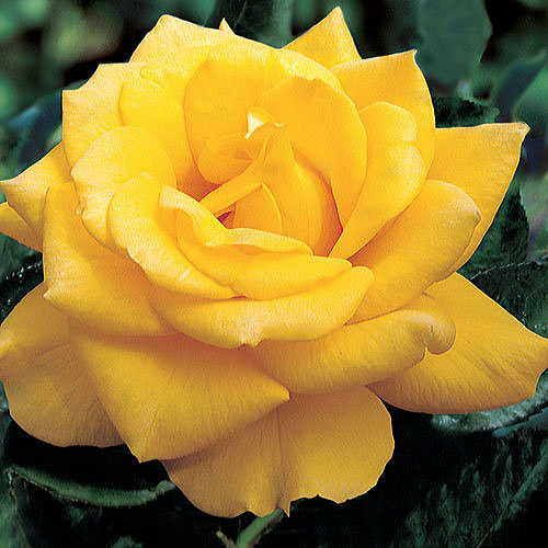 Henry Fonda 36-inch Tree Rose