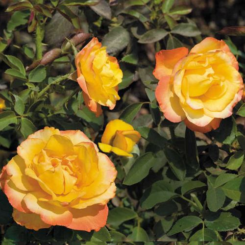 Summer Surprise 36-inch Tree Rose