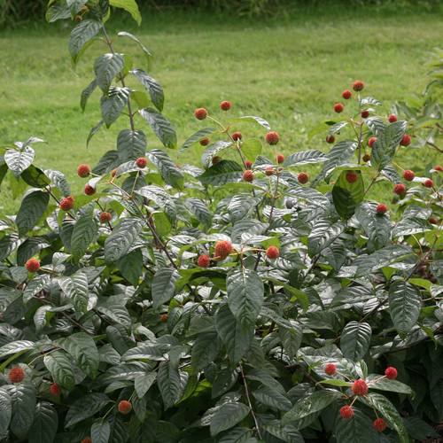 Sugar Shack™ Cephalanthus occidentalis Dwarf Buttonbush Shrub
