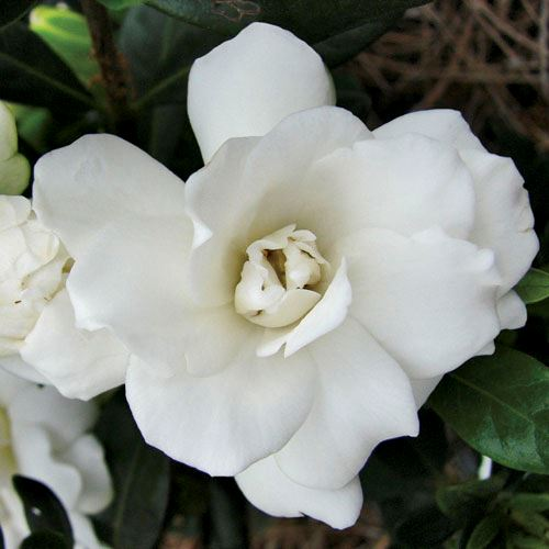 Gardenia 'Double Mint'