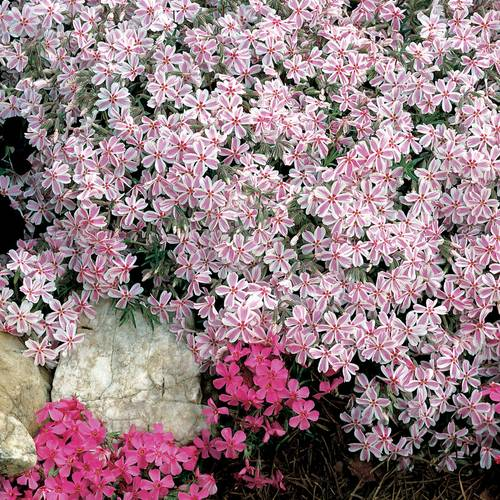 'Candy Stripe' Creeping Phlox (pack of 6)