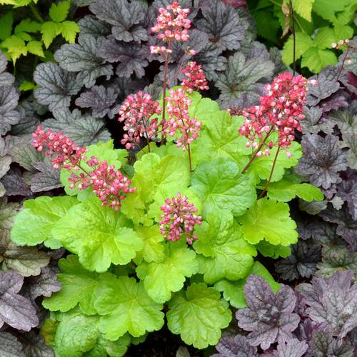 Heuchera Little Cutie™ 'Sweet Tart'