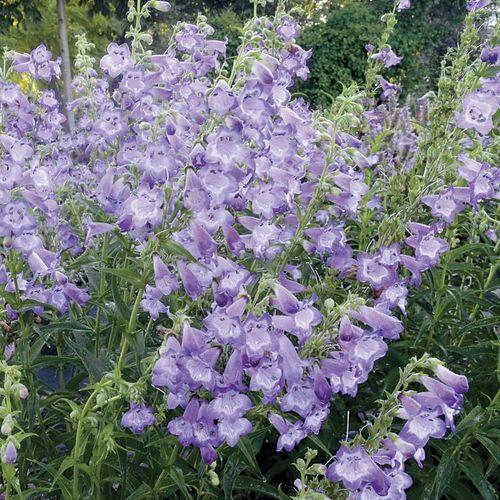Cha Cha™ Lavender Penstemon