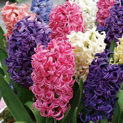 Pastel Perfection Hyacinth Collection - Pack of 10