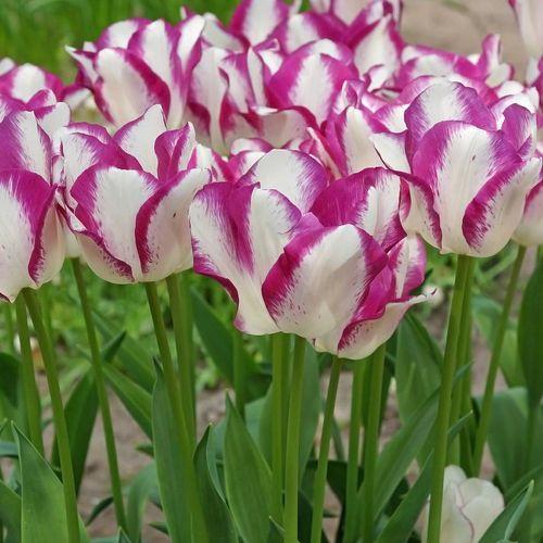 Affaire Tulip (Pack of 10)