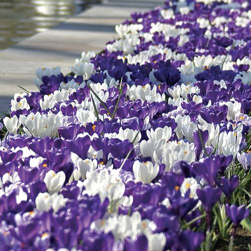 Crocus Purple Fiction