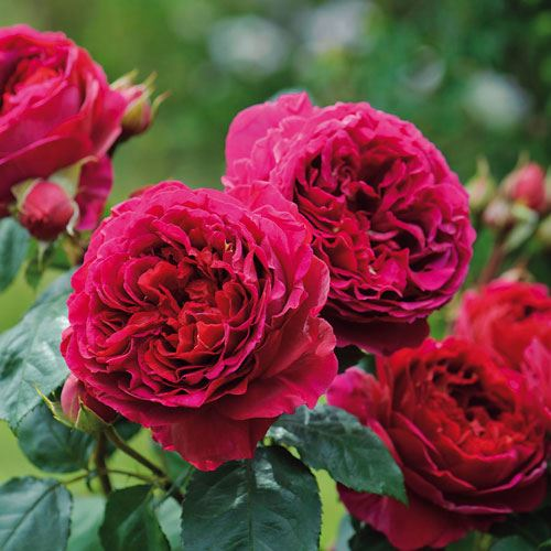 Heathcliff™ Shrub Rose