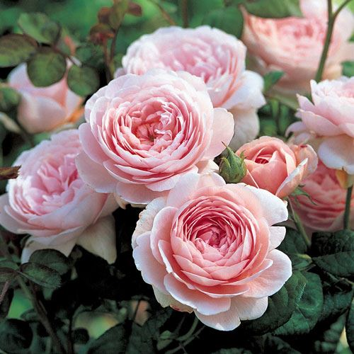 Queen of Sweden™ Shrub Rose