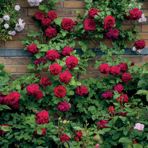 Tess of the d'Urbervilles® Climbing Rose