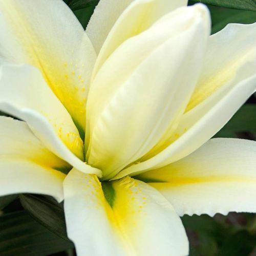 Roselily Carolina® Oriental Lily