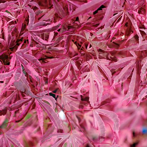 'Shirazz' Japanese Maple
