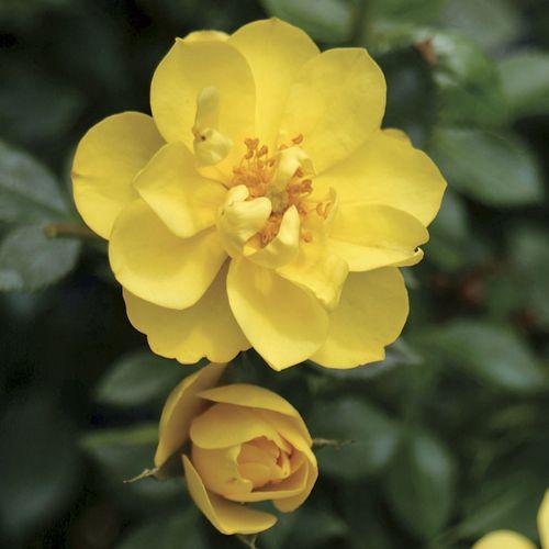 Oso Easy® Lemon Zest Rose
