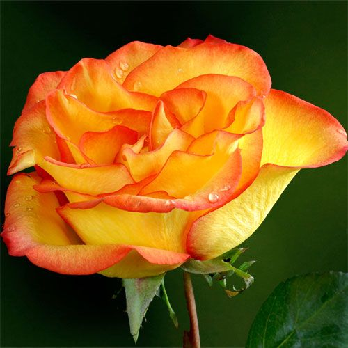 Flamenco™ Hybrid Tea Rose