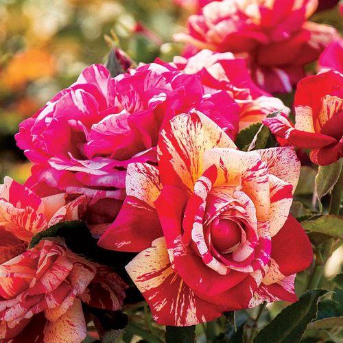 Daring Spirit™ Hybrid Tea Rose
