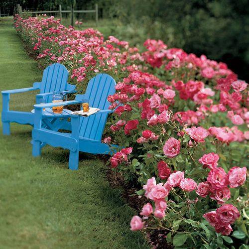 Simplicity® Hedge Rose