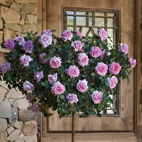 Enchanted Evening 36 Inch Tree Rose