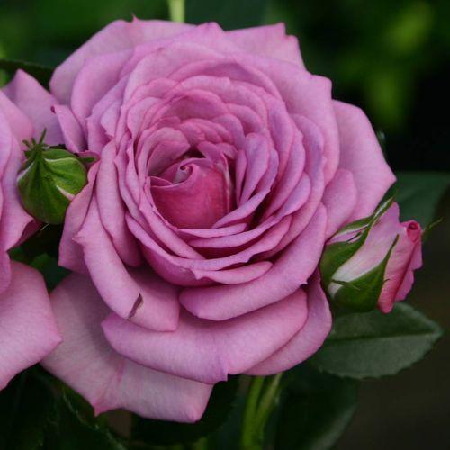 Lavender™ Veranda® Floribunda Rose