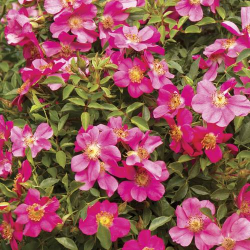 Party Dress Ground Cover Rose