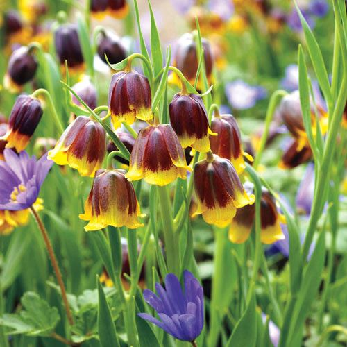 Fritillaria Anemone Fairy Tale Blend