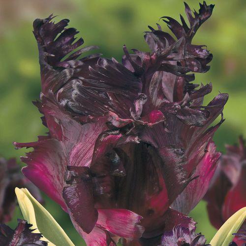 Tulip Parrot 'Frozen Night'