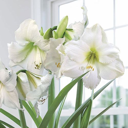 Christmas Gift Amaryllis Bulbs