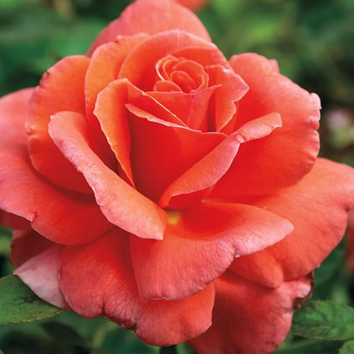 Sriracha® 24-Inch Patio Tree Rose