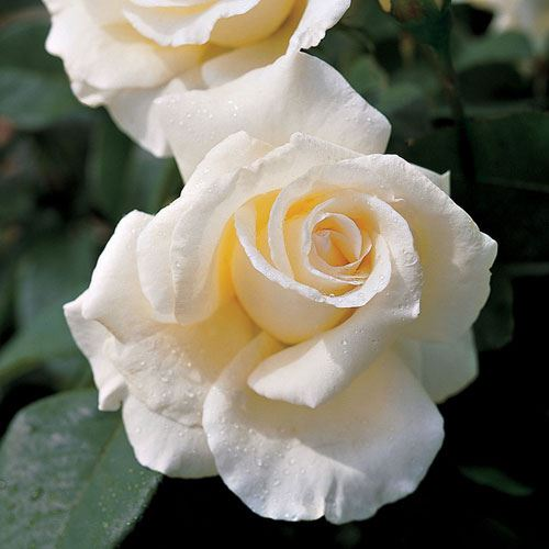 'Honor' Hybrid Tea Rose